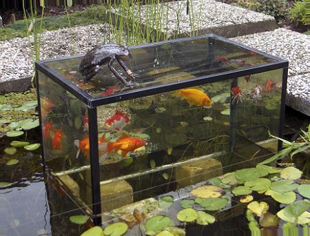 Vissen in de vijver goudvissen koikarpers sarasa for Tuinvijver maken