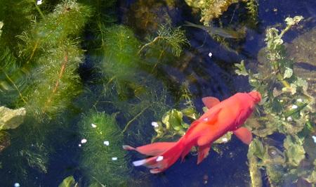 Beplantingsplan zuurstofplanten waterlelies en for Filter voor vijver
