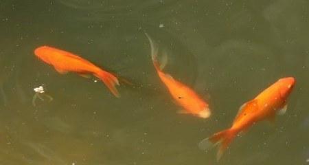vissen in vijver met zweefalegn (groen troebel water)