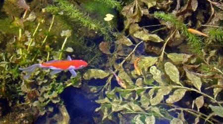 Zuurstofplanten zijn belangrijk voor vissen in de vijver