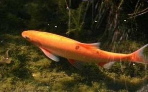Vissen in de vijver: Goudwinde