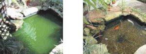 groene vijver helder maken voor en na gebruik zweefalg-in-één