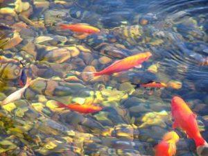 heldere vijver - goede waterkwaliteit