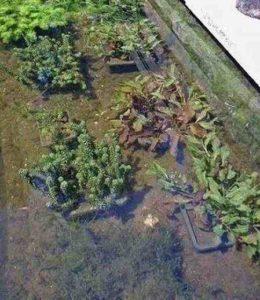 heldere vijver door groei van zuurstofplanten