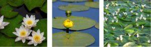 waterlelies en lelie-achtige planten
