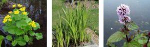 moerasplanten vijver oeverplanten