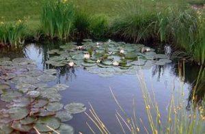 Voorbeeld van een natuurlijke vijver: de overgang van land naar water wordt gevormd door moerasplanten