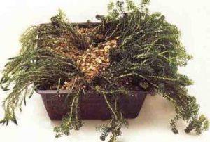 Zuurstofplanten vijver in plantmand