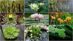 waterplanten en zuurstofplanten: verschillende soorten